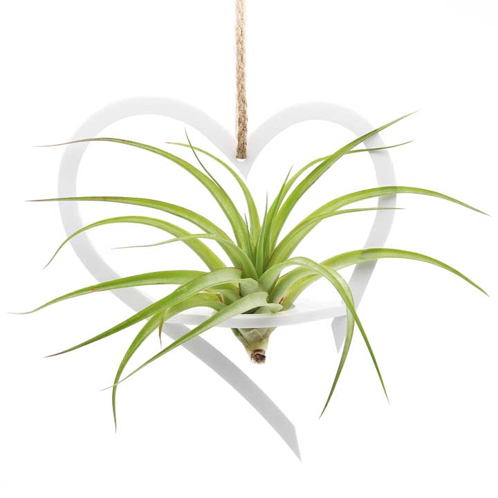 Air Plant Holder & Plant - Large - Heart