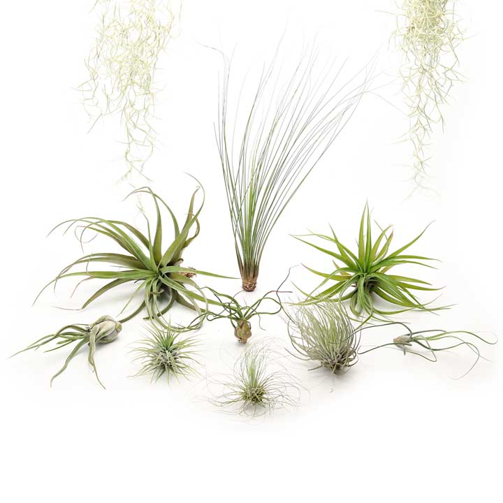 Air plant combo #3 - the dare