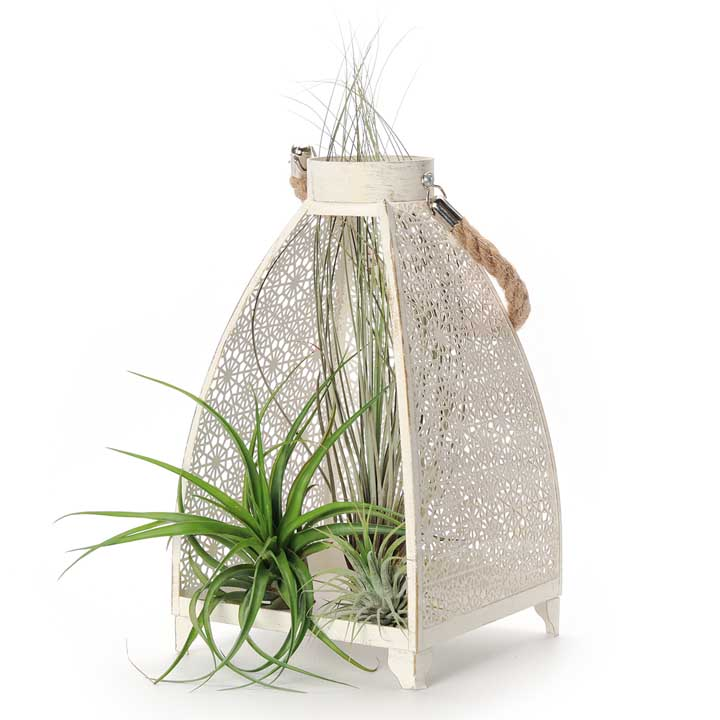 Air Plants in Lantern - Large
