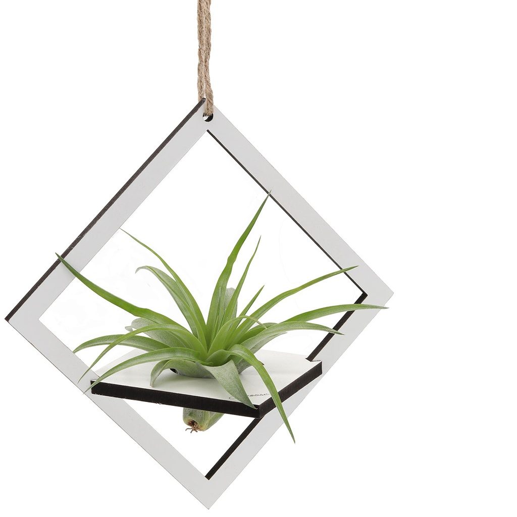 Air Plant Holder & Plant - Large - Square